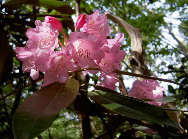 桃色花のホンシャクナゲ