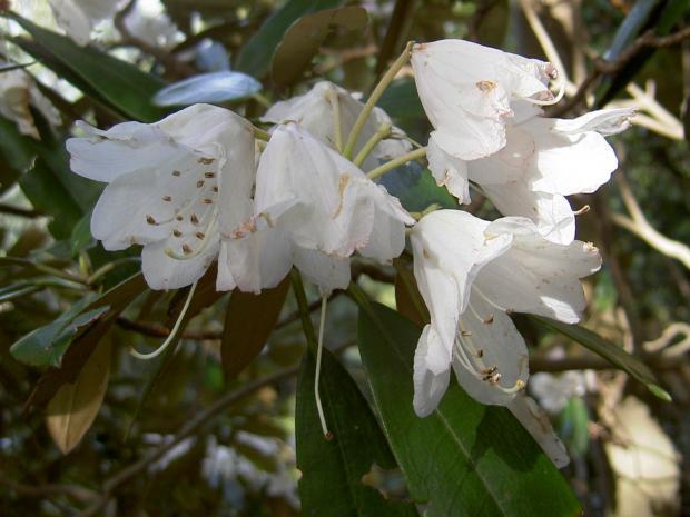 白花品に近いホンシャクナゲ