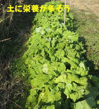 無施肥と施肥の菜の花3