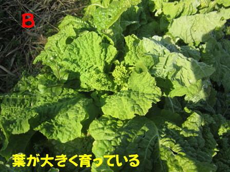 無施肥と施肥の菜の花4