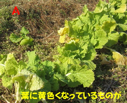 無施肥と施肥の菜の花1