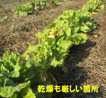 無施肥と施肥の菜の花2