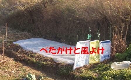 小松菜播種春第1弾 (3)
