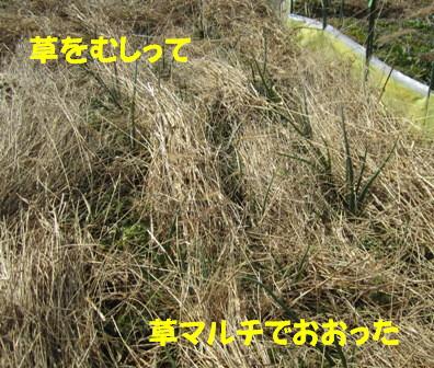 2013.2枯れ草マルチ