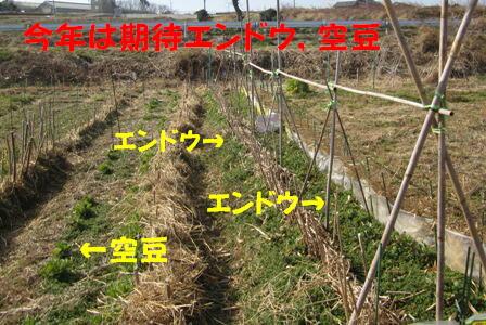 エンドウの支柱立て (1)