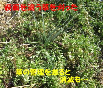 2013年のラッキョウ (草刈り後)