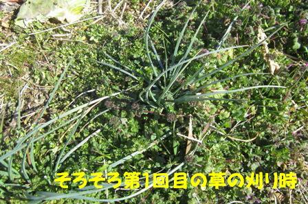 2013年のラッキョウ (草刈り前)