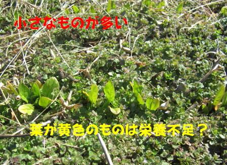 ホウレン草2013春 (3)