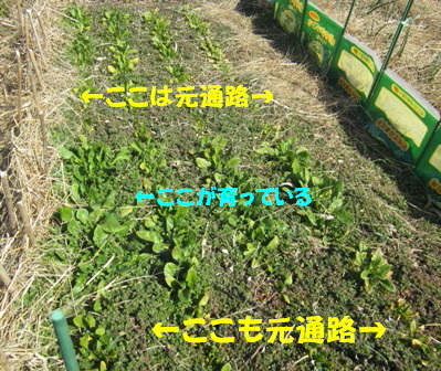 ホウレン草2013春 (1)