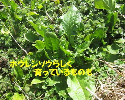 ホウレン草2013春 (2)