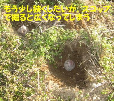 ジャガイモ植え付け (2)