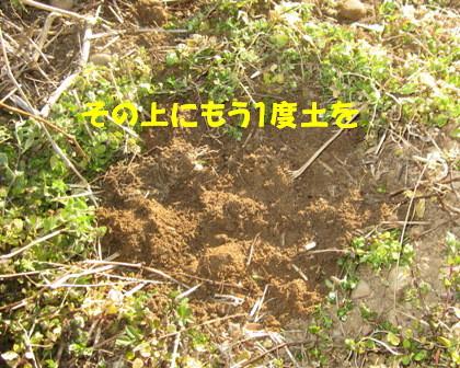 ジャガイモ植え付け (5)