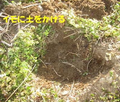 ジャガイモ植え付け (3)