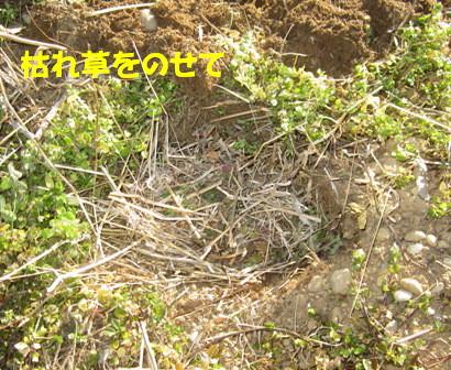 ジャガイモ植え付け (4)