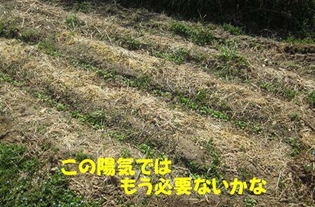 小松菜(春①) (2)