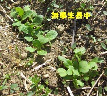 小松菜(春①) (3)