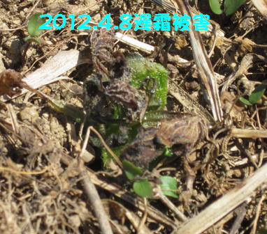 2012.4.8遅霜