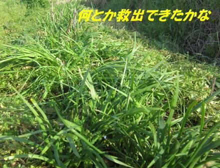 ニラ(草生栽培) (3)
