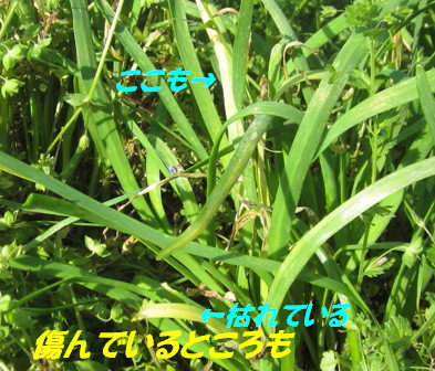 ニラ(草生栽培) (2)