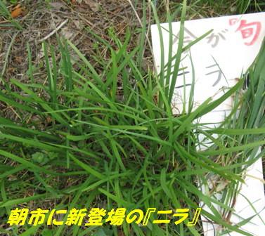 ニラ(草生栽培) (4)