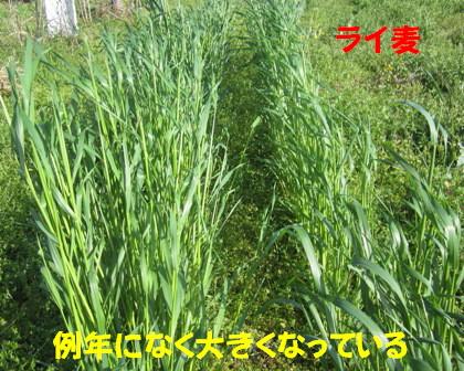 2013ライ麦