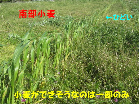 2013小麦