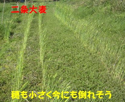 2013二条大麦