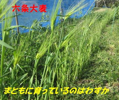 2013六条大麦