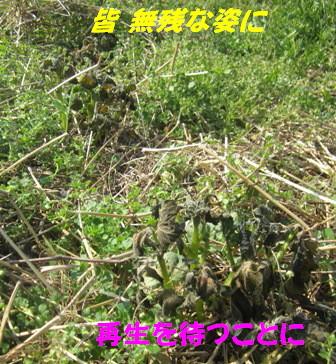 遅霜ジャガイモ (3)