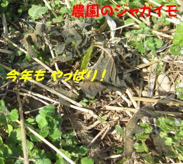 遅霜ジャガイモ (2)