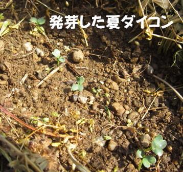 遅霜対策Ⅱ (夏ダイコン)
