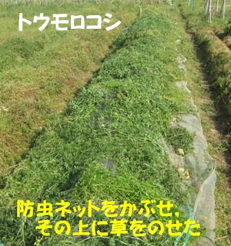 遅霜対策Ⅱ (トウモロコシ)