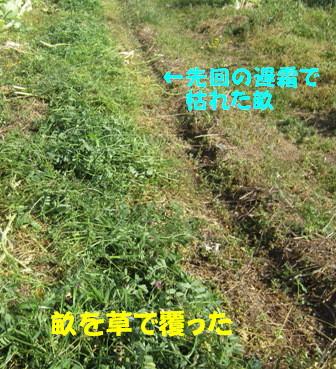 遅霜対策Ⅱ (夏ダイコン2)
