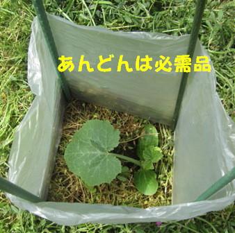 本格的夏野菜定植 (ズッキーニ)