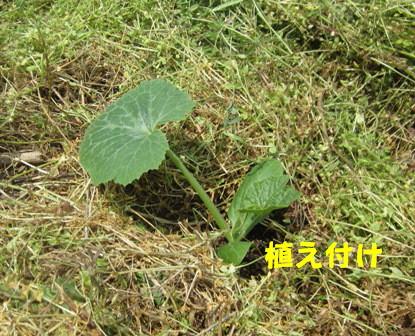 本格的夏野菜定植 (3)