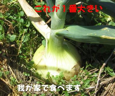 2013玉ネギ (1)