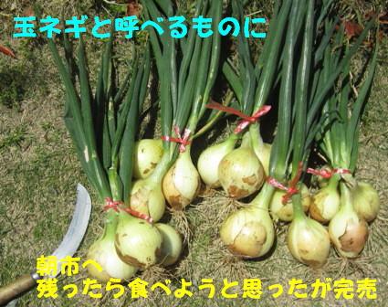 2013玉ネギ (3)