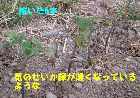 世界一トマト2013 (6)