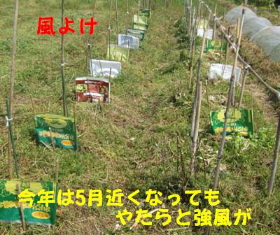 世界一トマト2013 (2)