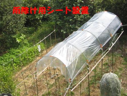 トマト雨除け (1)