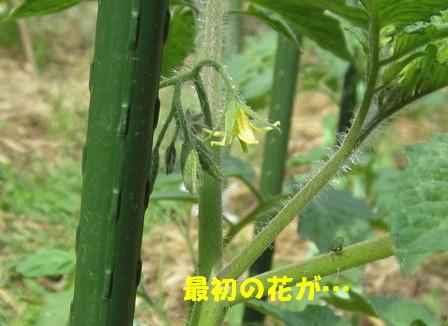 ミニトマト(花)