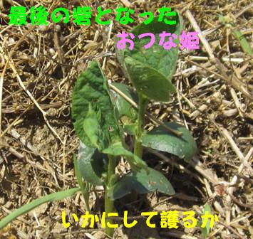 農園の枝豆3