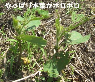 農園の枝豆1