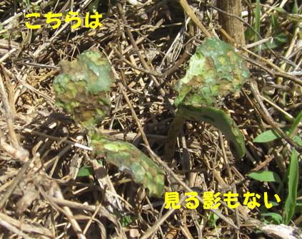 農園の枝豆2