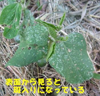 菜園の枝豆 (1)