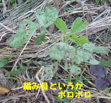 菜園の枝豆(2)