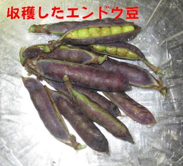ツタンカーメンのえんどう豆1