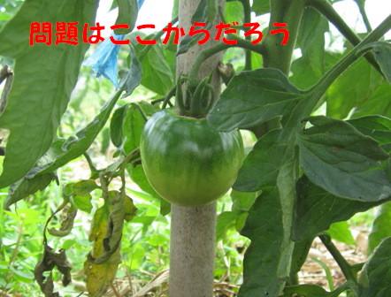 世界一トマト (1)