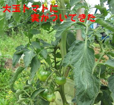 世界一トマト (3)