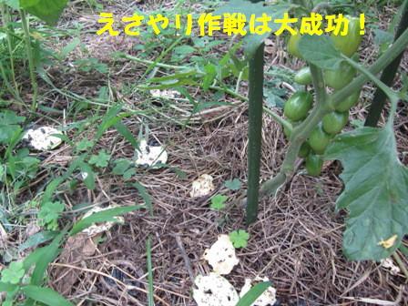 ミニトマトに (2)